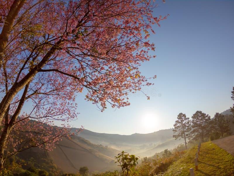 Flor de cerezo Himalayan salvaje en la montaña en el paisaje de la opinión de la salida del sol en Tailandia imagen de archivo