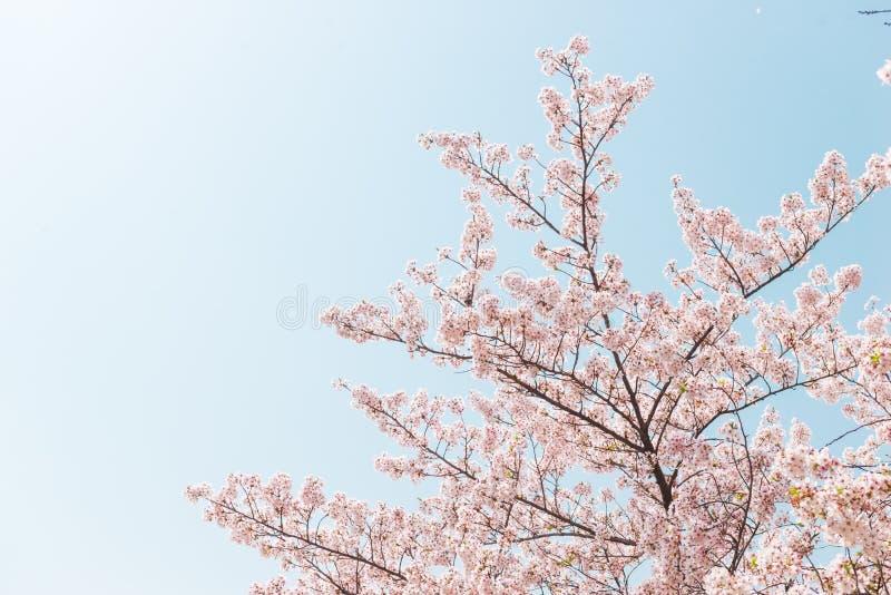 Flor de cerezo o flor rosada de Sakura con el cielo azul en estación de primavera en Japón foto de archivo libre de regalías