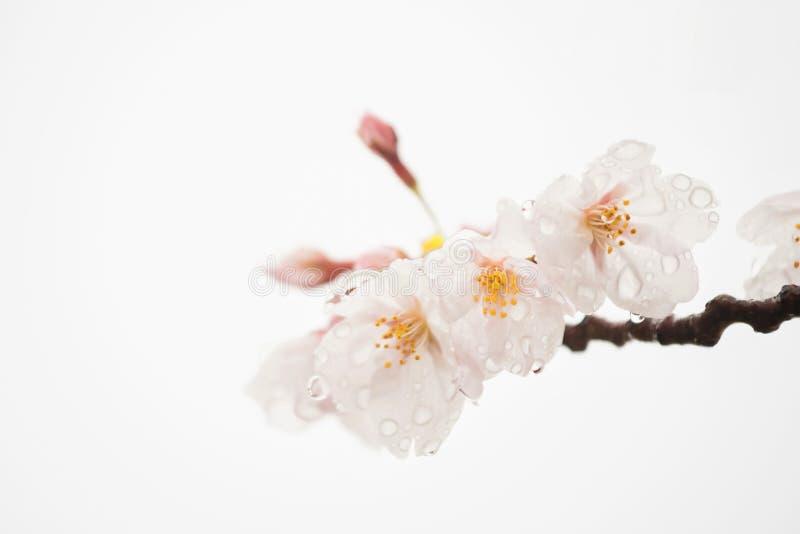 Flor de cerezo o Sakura aislado en blanco imagen de archivo libre de regalías