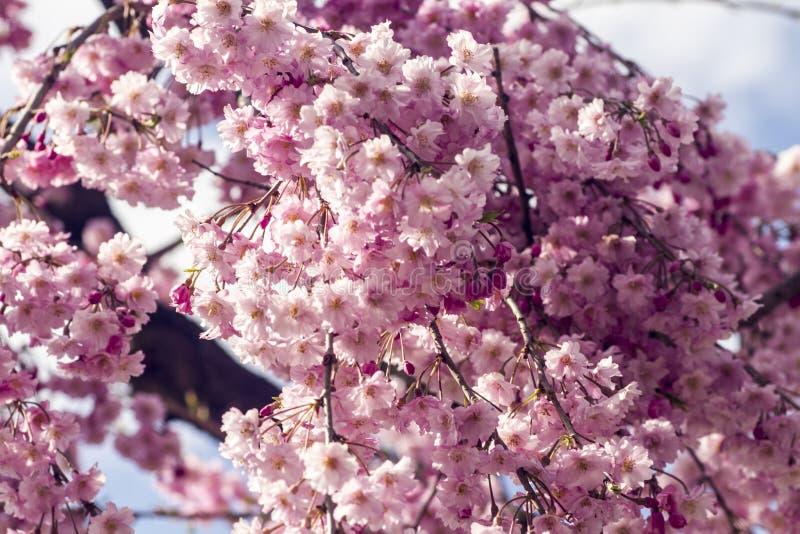 Flor de cerezo rosada en el cielo azul imagen de archivo libre de regalías