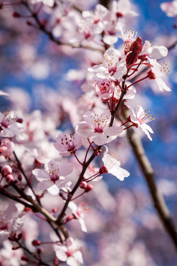 Download Flor De Cerezo Rosada Hermosa De La Primavera Foto de archivo - Imagen de flor, crecimiento: 41911892