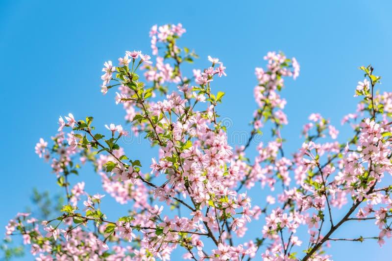Flor de cerezo Sakura en tiempo de primavera sobre el cielo azul imagen de archivo libre de regalías