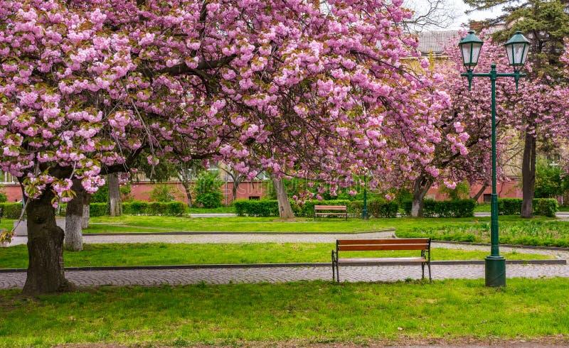 Flor de cerezo sobre los bancos en el parque foto de archivo