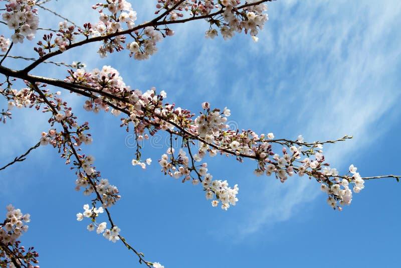 Flor de cerezo y fondo hermoso fotos de archivo libres de regalías