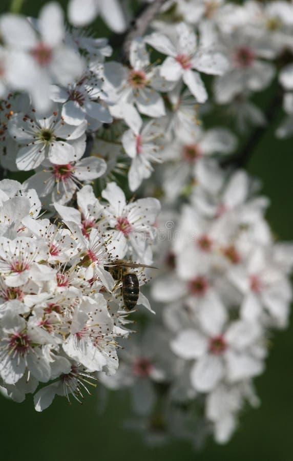 Flor de cerezo y sido fotos de archivo libres de regalías