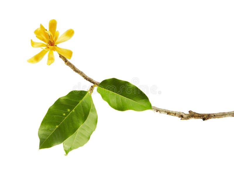 Flor de Champak & x22; Champaca& x22 da magnólia; - Flor amarela perfumada que floresce no ramo com as folhas do verde, isoladas  imagem de stock royalty free