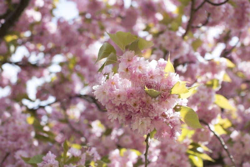 Flor de Chery imágenes de archivo libres de regalías