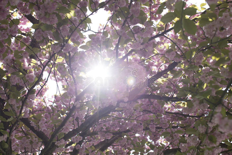 Flor de Chery imagen de archivo