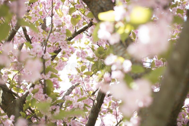 Flor de Chery foto de archivo libre de regalías