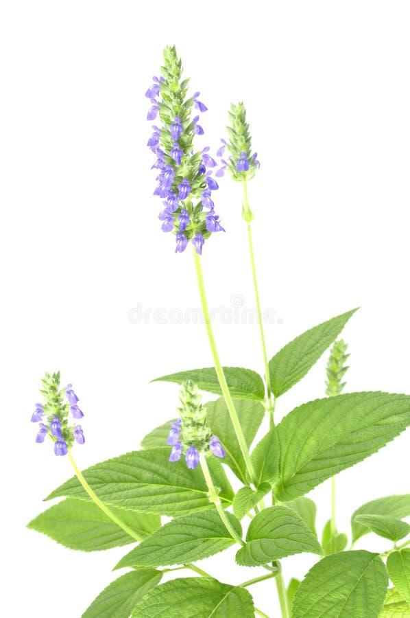 Flor de Chia fotografia de stock