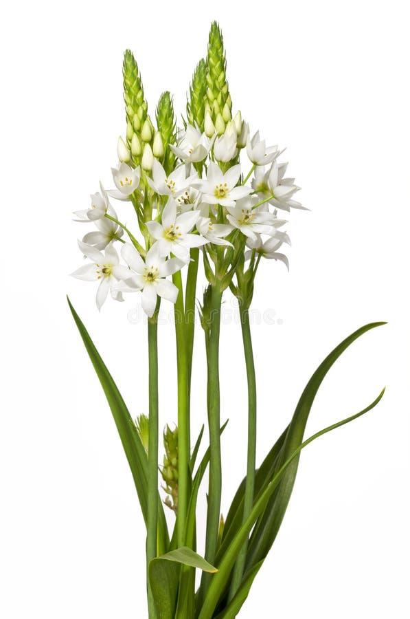 Flor de Chincherinchee aislada foto de archivo libre de regalías