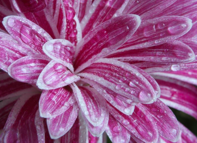 Flor de Chrisanthemum imágenes de archivo libres de regalías