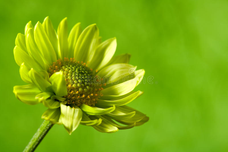 Flor de Chrysantemum imagem de stock