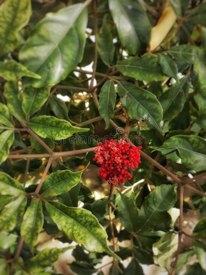 Flor de Cofee imagem de stock royalty free