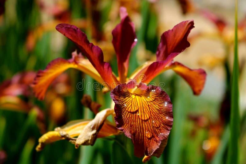 Flor de color salmón del iris de la puesta del sol foto de archivo libre de regalías