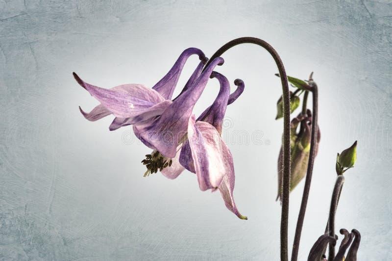 Flor de Columbine fotografia de stock