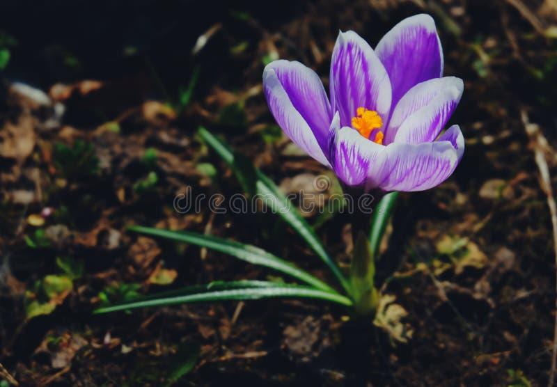 flor de Crocus Vista de uma flor de primavera imagens de stock royalty free