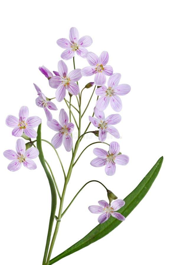 Flor de cuco imagens de stock royalty free