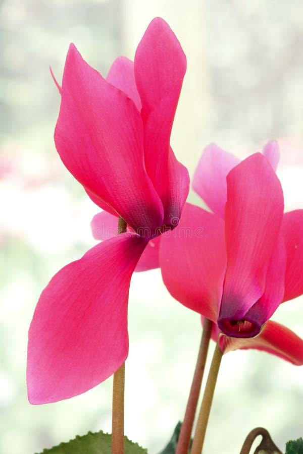 Flor de Cyclamen imagem de stock