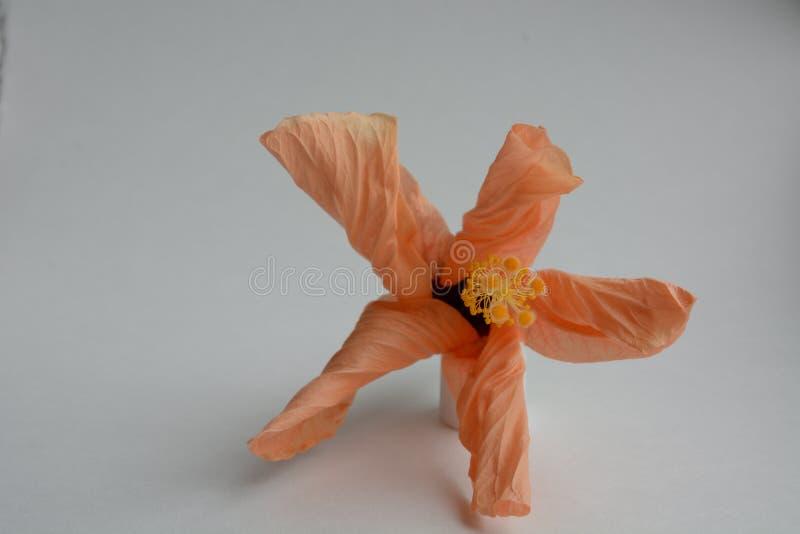 Flor de desvanecimento brilhante, folhas onduladas, grande estame, em um fundo branco imagens de stock