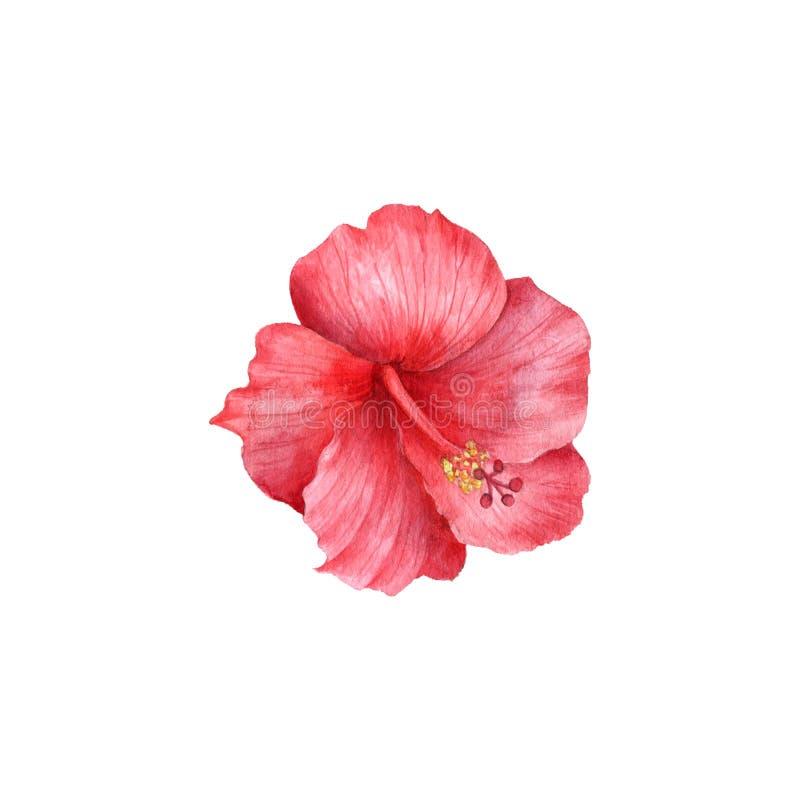 Flor de dibujo del hibisco de la acuarela stock de ilustración