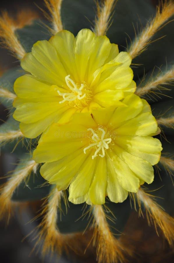 Download Flor de dos cactus foto de archivo. Imagen de jardín - 42445608