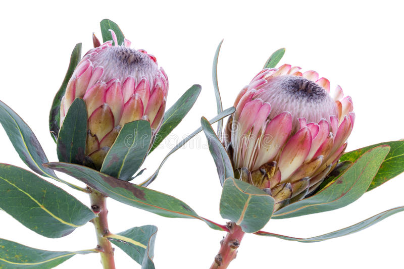 Flor de dos Protea en un fondo blanco imágenes de archivo libres de regalías