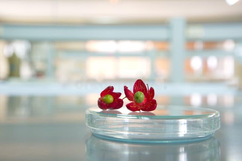 Flor de dos rojos en placa de Petri en laboratorio de ciencia imagenes de archivo