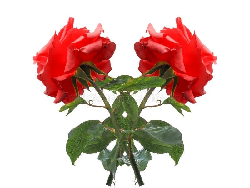 flor de duas rosas vermelhas isolada sobre o branco foto de stock royalty free