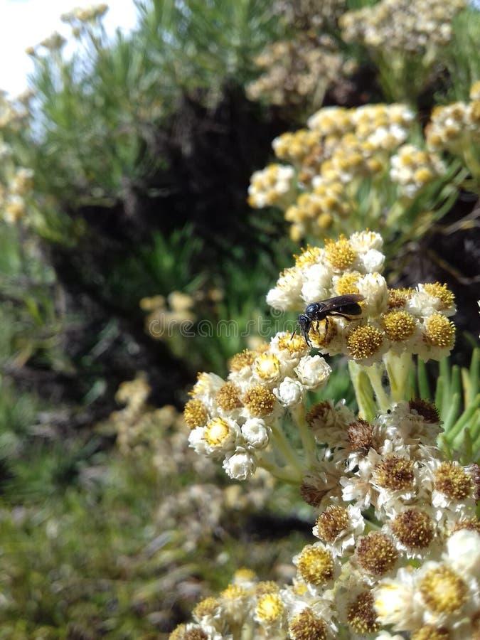 Flor de Edelweiss foto de stock