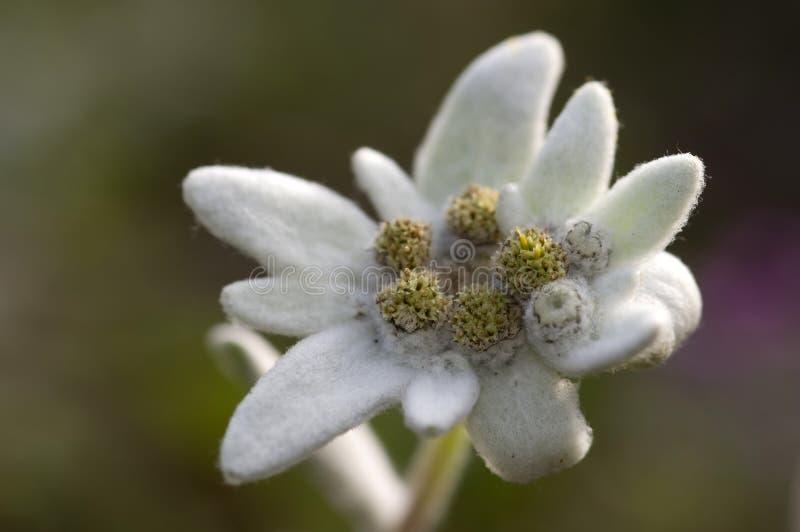 Flor de Edelweiss imagem de stock royalty free