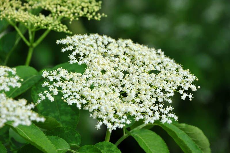 Flor de elderberry blanca fotos de archivo