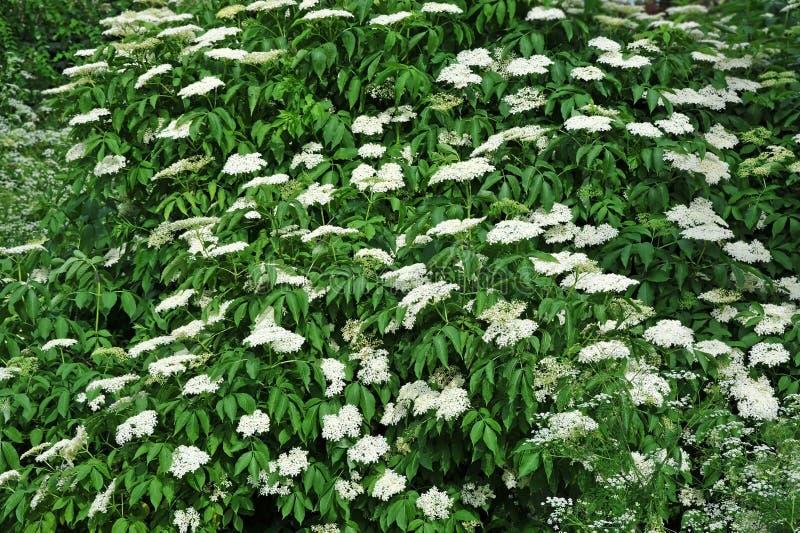 Flor de elderberry blanca fotografía de archivo libre de regalías