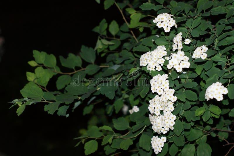 Flor de Elderberry, flor Elderberry de fondo natural exterior fotografía de archivo libre de regalías