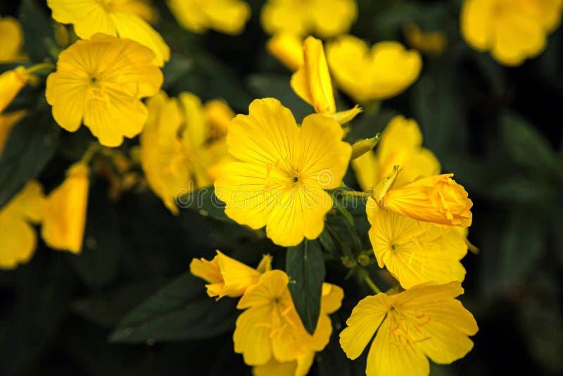 Flor de Enotera en el jardín imagen de archivo
