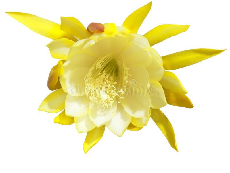 Flor de Epighyllum fotografía de archivo libre de regalías