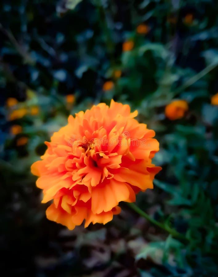 Flor de Explendid imagens de stock royalty free