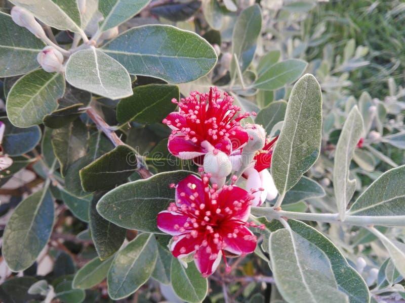 Flor de Feijoa imagen de archivo libre de regalías