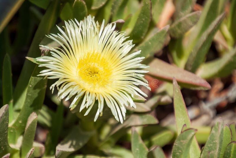 Flor de Fenestraria aurantiaca, ou dedos de bebê, planta fotos de stock royalty free
