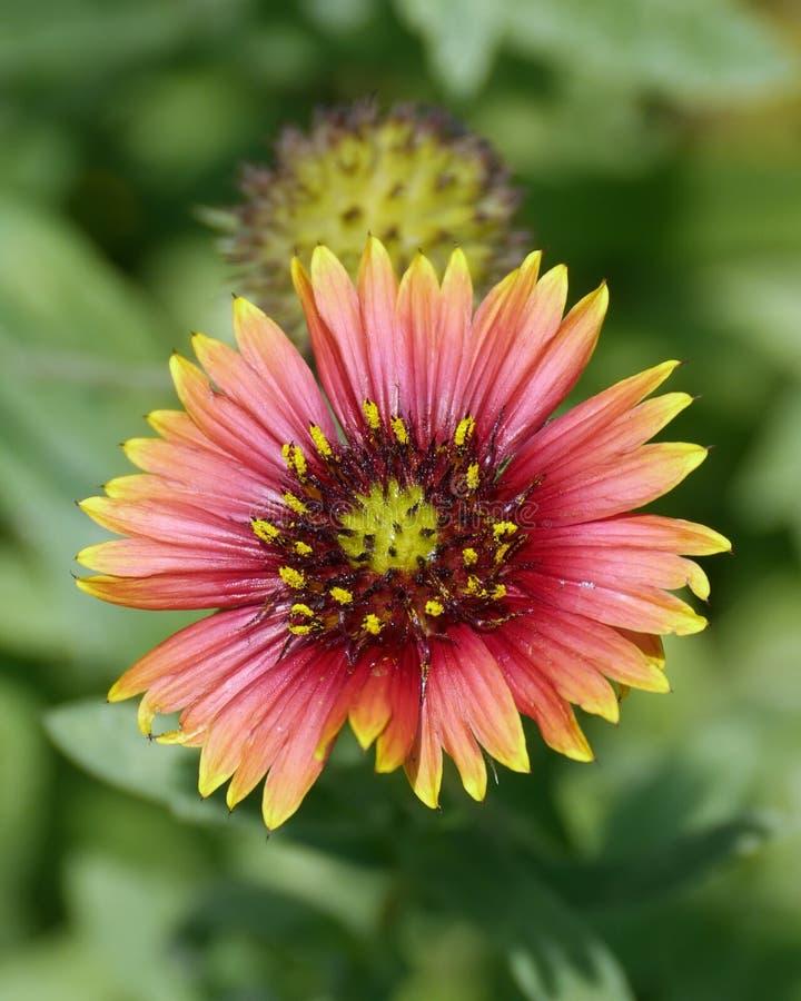 Flor de Firewheel imagen de archivo