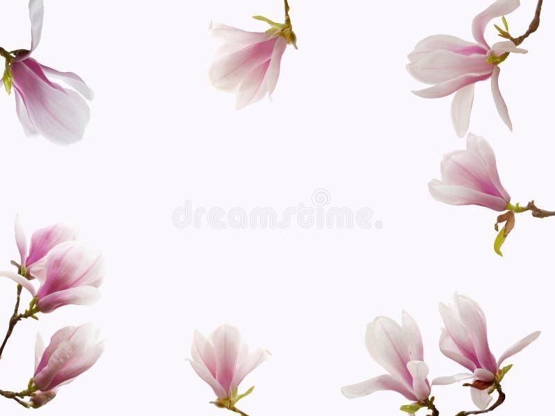 Flor de florescência bonita da magnólia isolada no fundo branco fotos de stock