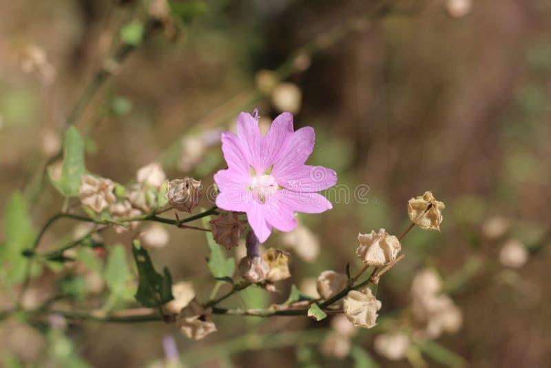 Flor de florescência da árvore-malva foto de stock royalty free