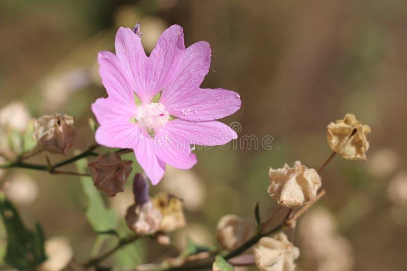 Flor de florescência da árvore-malva imagens de stock