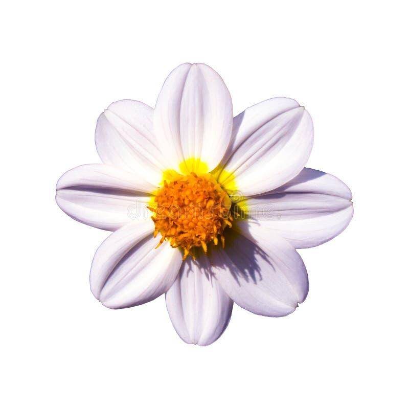 Flor de florescência da dália branca imagem de stock royalty free