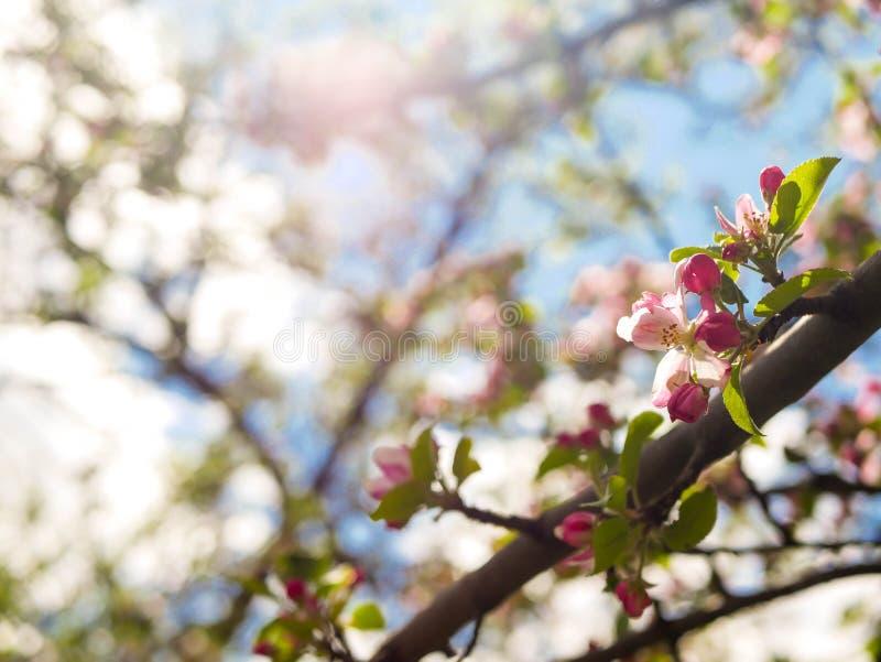 Flor de florescência da maçã vermelha cor-de-rosa na primavera na luz do sol brilhante imagens de stock