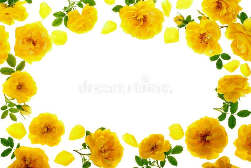 Flor de florescência da rosa selvagem do amarelo isolada em um fundo branco com espaço da cópia para seu texto Vista superior Con fotografia de stock royalty free