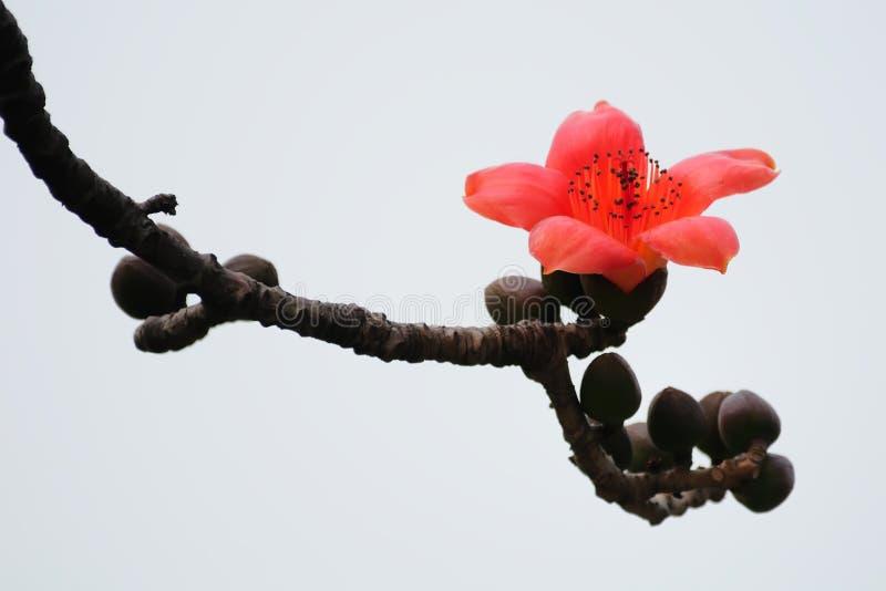 Flor de florescência da sumaúma na mola fotografia de stock royalty free