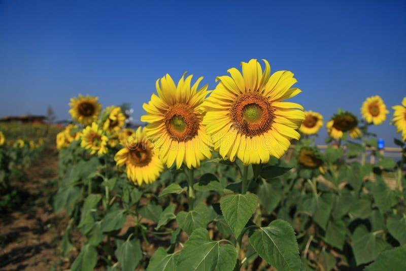 Flor de florescência de Sun foto de stock