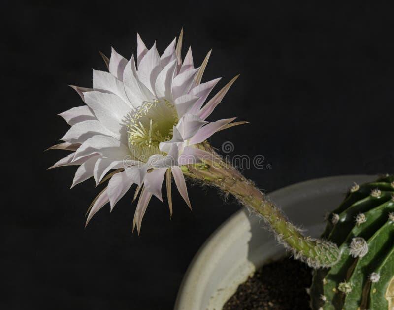 Flor de florescência do cacto da noite de Echinopsis e haste tubular fotografia de stock