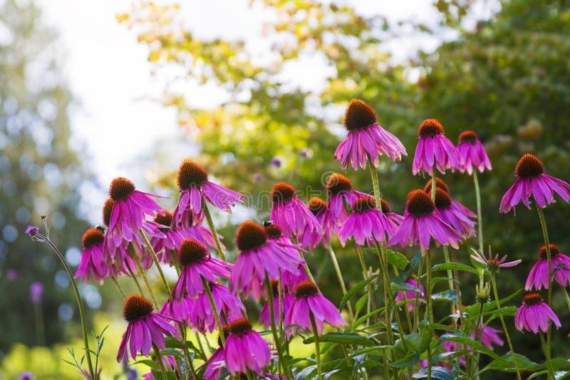 Flor de florescência do purpurea do echinacea em um jardim; fotos de stock